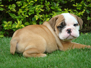 Beautiful English Bulldog puppies For Caring Homes